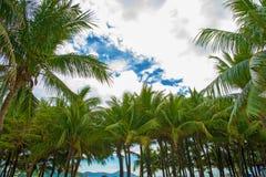 Много красивых высоких пальм растут близко, ладони aleya, тропический остров и красивые деревья растут к небу ashurbanipal Стоковое Изображение