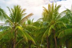 Много красивых высоких пальм растут близко, ладони aleya, тропический остров и красивые деревья растут к небу ashurbanipal Стоковые Изображения