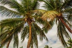Много красивых высоких пальм растут близко, ладони aleya, тропический остров и красивые деревья растут к небу ashurbanipal Стоковое Изображение RF