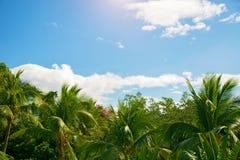 Много красивых высоких пальм растут близко, ладони aleya, тропический остров и красивые деревья растут к небу ashurbanipal Стоковое Фото