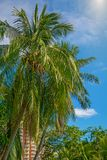 Много красивых высоких пальм растут близко, ладони aleya, тропический остров и красивые деревья растут к небу ashurbanipal Стоковое фото RF