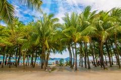 Много красивых высоких пальм растут близко, ладони aleya, тропический остров и красивые деревья растут к небу ashurbanipal Стоковая Фотография
