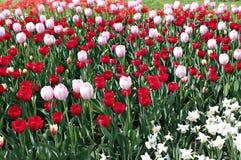 Много красивых красных и розовых тюльпанов в цветочном саде Стоковые Изображения
