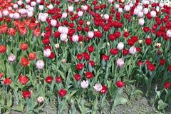 Много красивых красных и розовых тюльпанов в цветочном саде Стоковое Фото