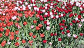 Много красивых красных и розовых тюльпанов в цветочном саде Стоковые Фото