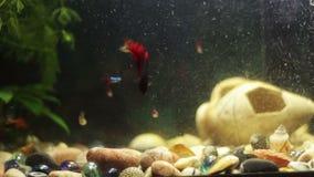 Много красивых красочных рыб с длинными кабелями маркизета и штраф в домашнем аквариуме сток-видео
