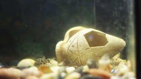 Много красивых красочных рыб с длинными кабелями маркизета и штраф в домашнем аквариуме видеоматериал