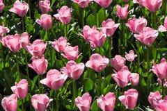 Много красивых розовых тюльпанов с зелеными лист в саде парка города дня весны солнечного желтый цвет картины сердца цветков паде Стоковое Изображение
