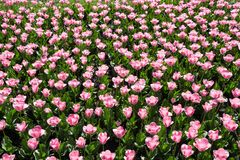 Много красивых розовых тюльпанов с зелеными лист в саде парка города дня весны солнечного желтый цвет картины сердца цветков паде Стоковые Фото
