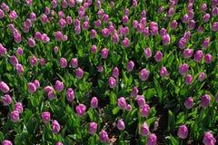 Много красивых розовых тюльпанов с зелеными лист в саде парка города дня весны солнечного желтый цвет картины сердца цветков паде Стоковая Фотография
