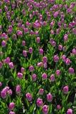 Много красивых розовых тюльпанов с зелеными лист в саде парка города дня весны солнечного желтый цвет картины сердца цветков паде Стоковая Фотография RF