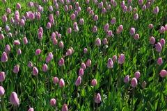 Много красивых розовых тюльпанов с зелеными лист в саде парка города дня весны солнечного желтый цвет картины сердца цветков паде Стоковое Фото