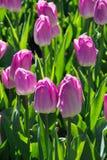 Много красивых розовых тюльпанов с зелеными лист в саде парка города дня весны солнечного желтый цвет картины сердца цветков паде Стоковое фото RF