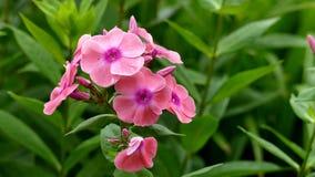 Много красивых розовых цветков в саде стоковая фотография