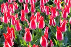 Много красно-белых тюльпанов Стоковые Фото