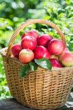 Много красные аппетитные яблоки в плетеной корзине Стоковое фото RF