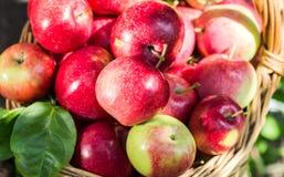 Много красные аппетитные яблоки в плетеной корзине Стоковое Изображение RF
