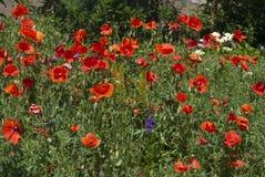 Много красные маки и малые цветки маргаритки Стоковое Изображение