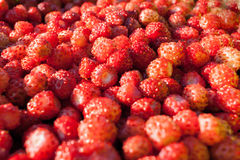 Много красные ягоды конца-вверх одичалой клубники Стоковое Изображение