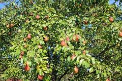 Много красный плодоовощ груши на ветвях Стоковая Фотография