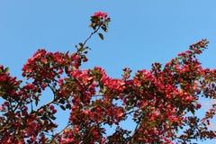 Много красный цвет понижает на ветви дерева Стоковое Изображение