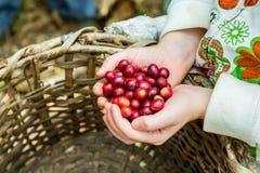 Много красных вишен кофе Стоковые Фото