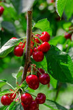 Много красных зрелых вишен Стоковое Изображение RF