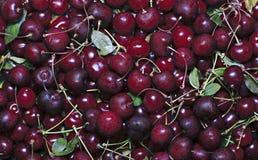 Много красных зрелых ягод вишни Стоковая Фотография