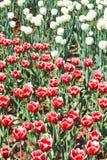 Много красных и белых декоративных тюльпанов Стоковое Изображение RF