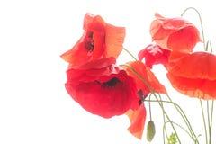 Много красных цветков мака Стоковая Фотография
