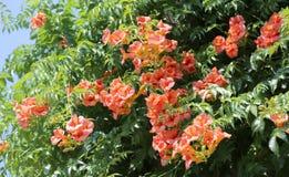 Много красных цветков тропического дерева в лете Стоковое фото RF
