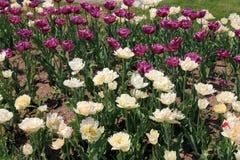 Много красочных тюльпанов Стоковое Изображение