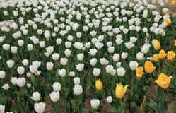Много красочных тюльпанов Стоковое фото RF