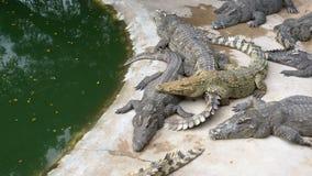 Много крокодилов лежат около воды зеленого цвета Тинное болотистое река Таиланд ashurbanipal акции видеоматериалы