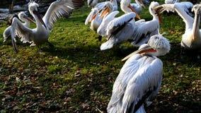 Много курчавых головных пеликанов в зоопарке сток-видео