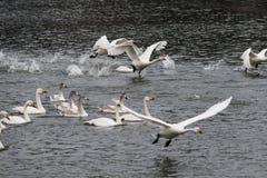 Много лебеди в озере лебед на восходе солнца Стоковые Изображения