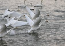 Много лебеди в озере лебед на восходе солнца Стоковые Фото