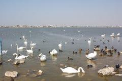 Много лебеди и другие птицы на воде отделывают поверхность Стоковые Фото