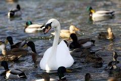 Много лебедь и кряква в поисках еды Стоковые Фотографии RF