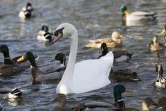Много лебедь и кряква в поисках еды Стоковое Изображение