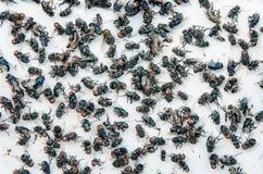 Много летают и пакостное насекомое и мертвые муха или мясо мухы на whit Стоковое Изображение RF