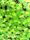 Много листьев зеленого цвета плавая на воду Стоковое Изображение RF