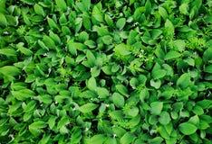 Много листьев ландыша стоковые фото