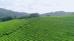Много листьев чая рудоразборки работника женщины на плантации чая в севере Таиланда Вид с воздуха от трутня летания сток-видео