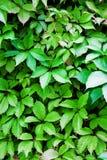 Много листья Стоковое фото RF