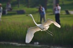 Много людей снимают egrets Стоковые Фотографии RF