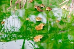 Много лягушка на воде в блоке цемента, лягушка Bull на журнале Стоковые Фотографии RF