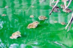 Много лягушка на воде в блоке цемента, лягушка Bull на журнале Стоковое Изображение