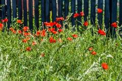 Много маков в поле около загородки Стоковое Изображение