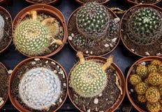 Много малый кактус в баках Стоковые Изображения